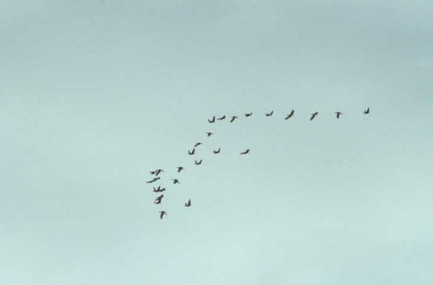 Flight of Greenland White-fronted Geese by Lynda Huxley