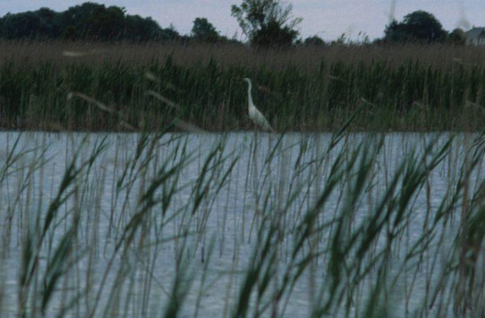 Great White Egret, Kilkeeran 4 June 2012 by Lynda Huxley