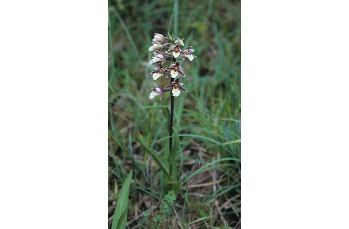 Marsh Helleborine Plant by Lynda Huxley