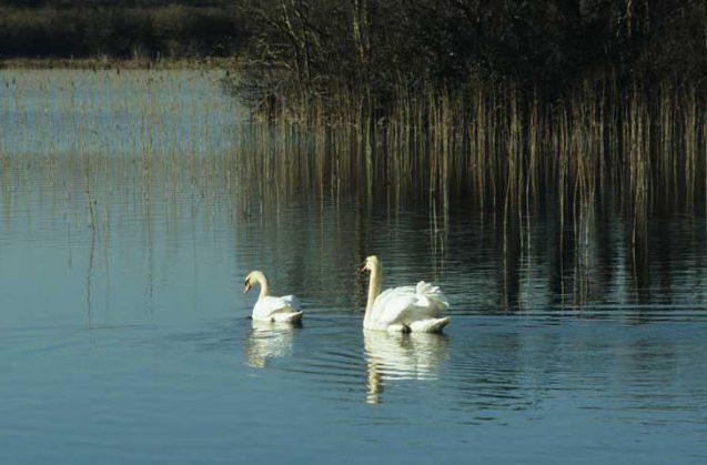 Mute Swans at Castle Burke by Lynda Huxley