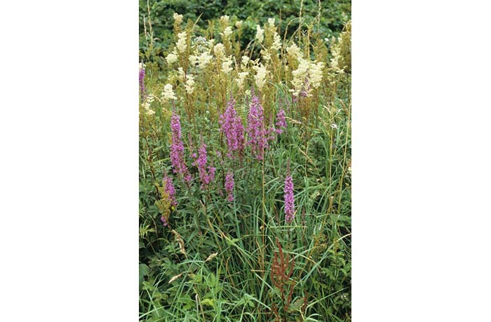 Purple Loosestrife and Meadowsweet by Lynda Huxley