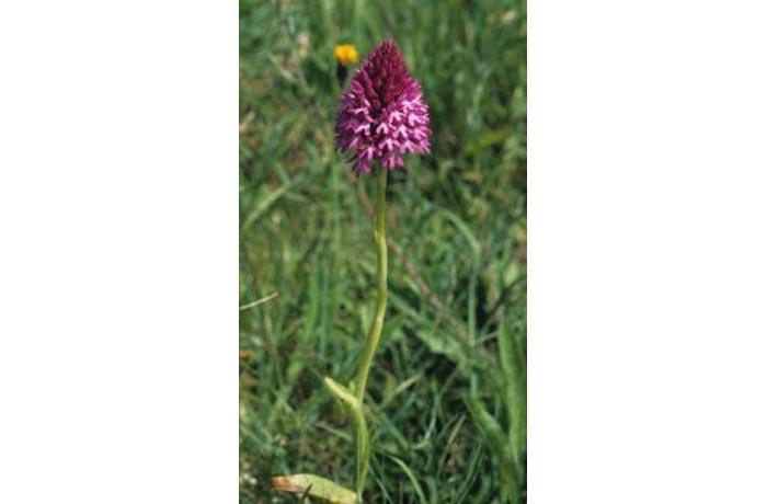 Pyramidal Orchid by Lynda Huxley
