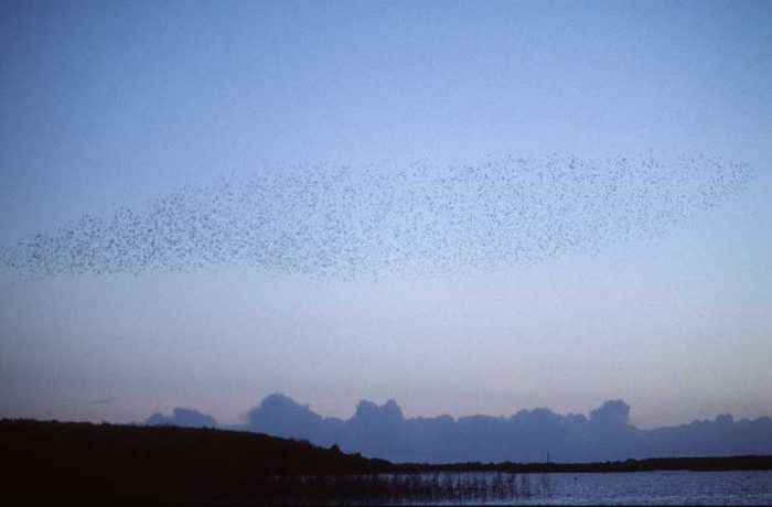 Starling display at Moorehall by Lynda Huxley