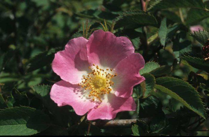 Wild Rose by Lynda Huxley