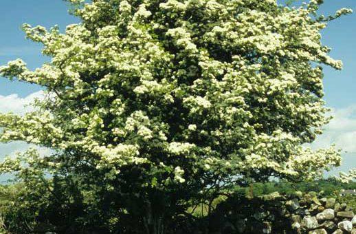 Hawthorn Tree by Lynda Huxley