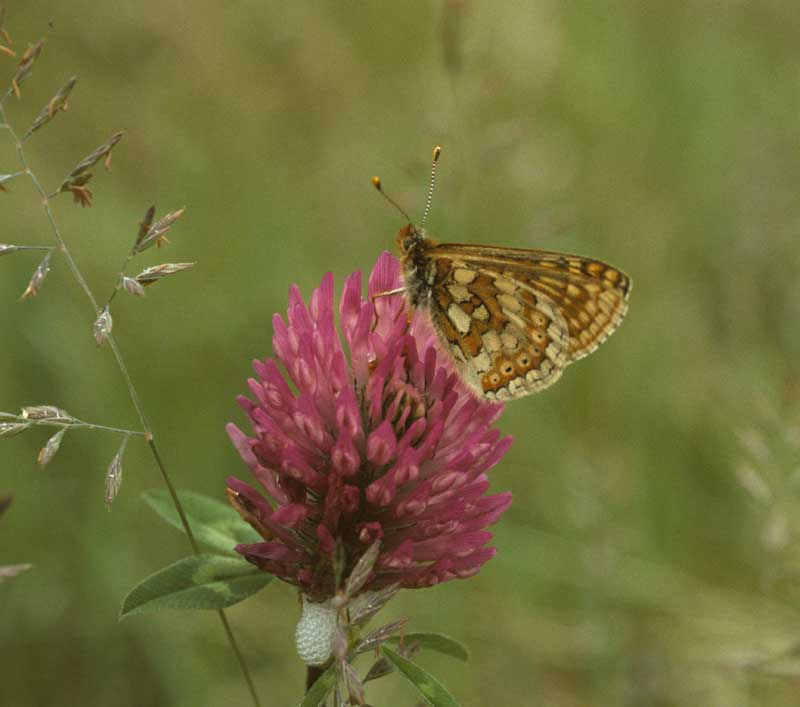 Marsh Fritillary on Clover by Lynda Huxley