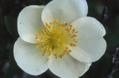 Burnet Rose Flower by Lynda Huxley