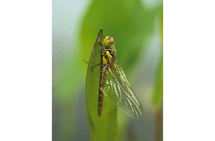 Hairy Dragonfly 2 by Lynda Huxley