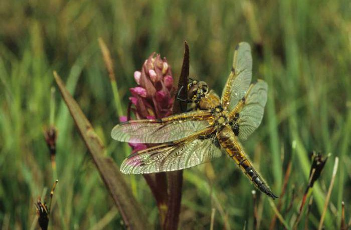 Four Spotted Chaser Dragonfly by Lynda Huxley