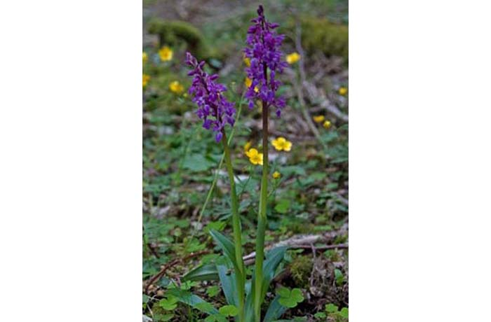 Early Purple Orchid by Kevin Murphy
