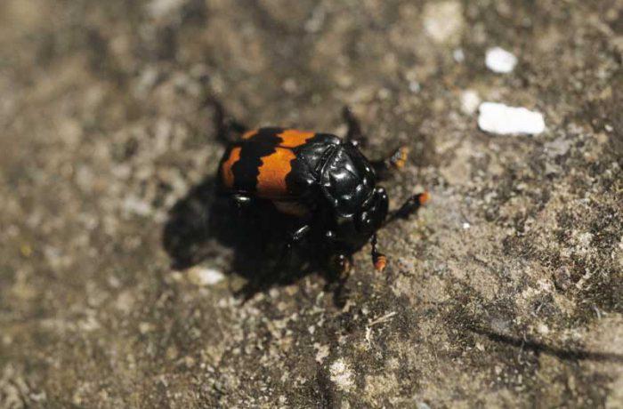 Sexton Beetle by Lynda Huxley