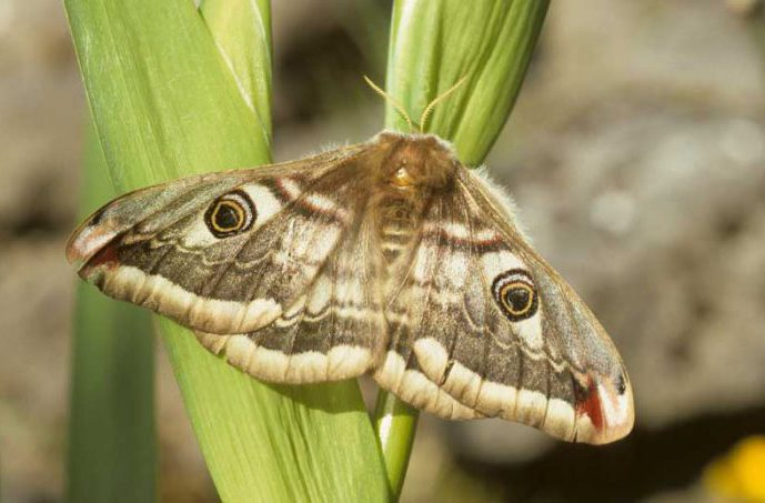 Emperor Moth by Lynda Huxley
