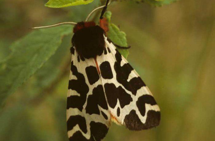 Garden Tiger Moth by Lynda Huxley
