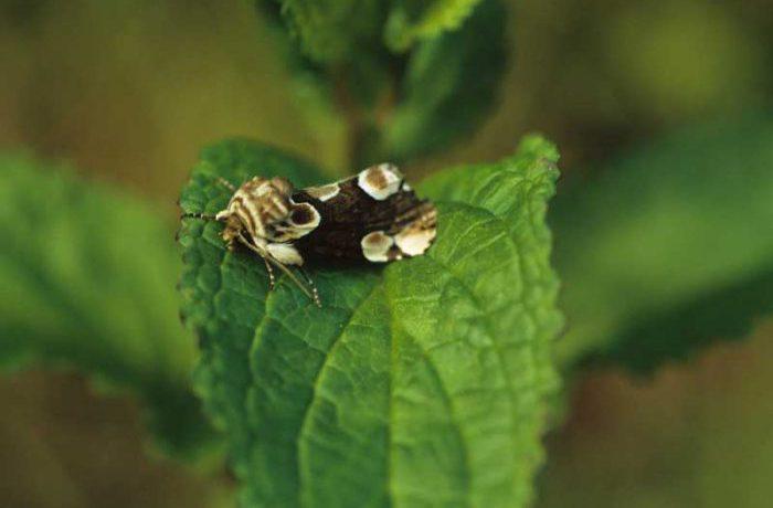 Peach Blossom Moth by Lynda Huxley