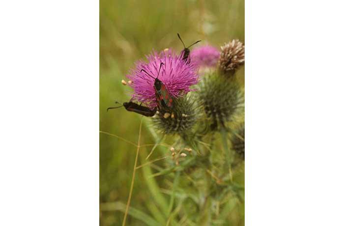 Six-Spot Burnet Moths on Thistle by Lynda Huxley