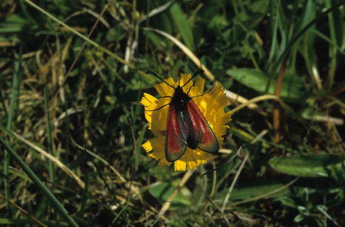 Transparent Burnet Moth by Lynda Huxley
