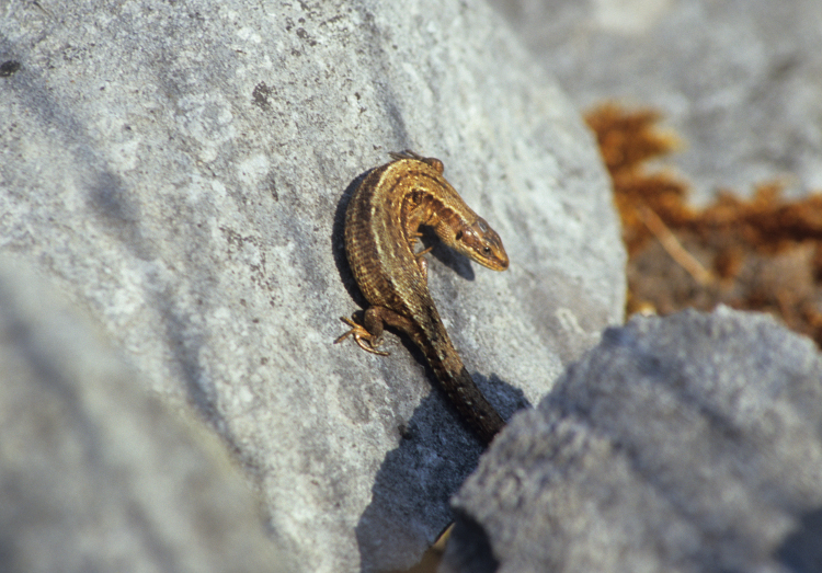 Viviparous Lizard by Lynda Huxley
