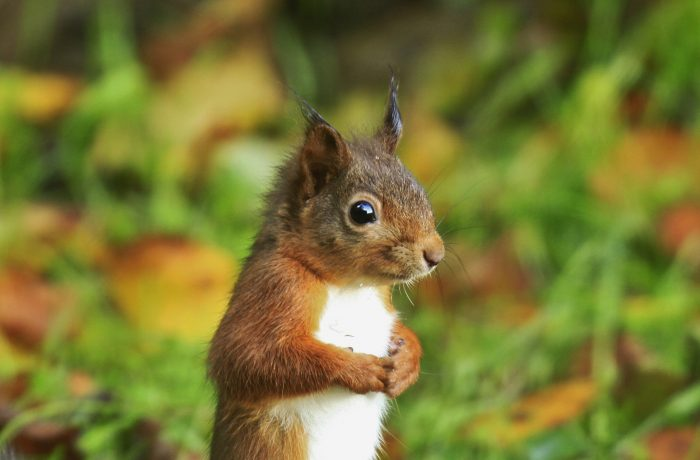 Red squirrel by Bob Price Adams