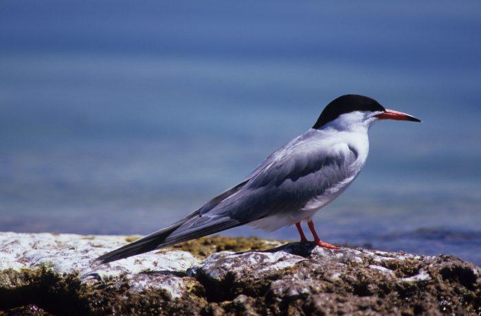 Common Tern, Lough Carra by Lynda Huxley